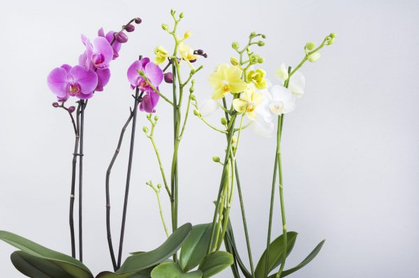 Phalaenopsis 1 branche