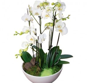 Coupe De Phalaenopsis