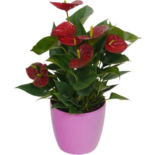 anthurium-rouge-