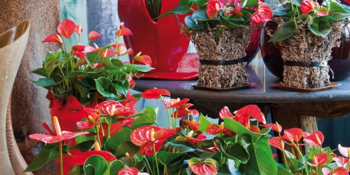 Entretenir Son Anthurium