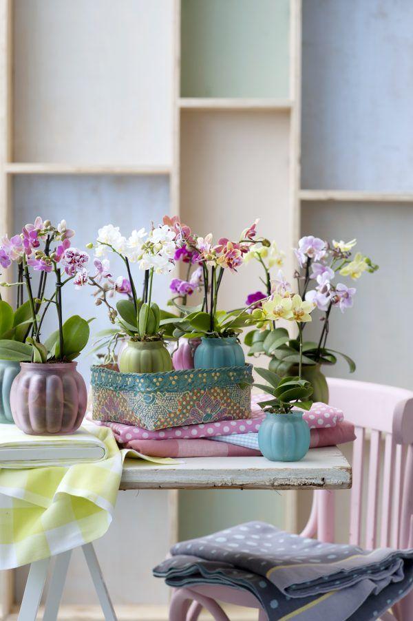 Orchidée Kolibri