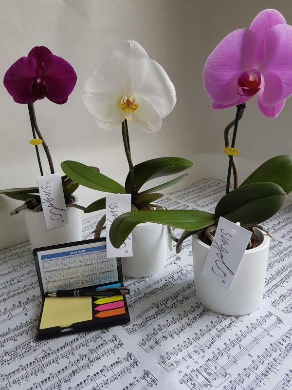 Singolo, L'orchidée originale