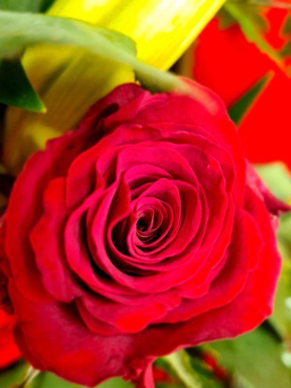 Rose dans son piqué de roses
